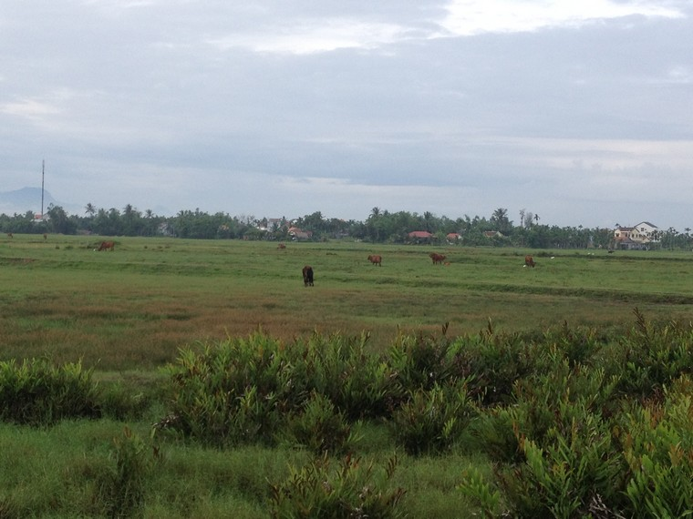 Cows on the field (Tra Que Vegetable Village, Hoi An, Vietnam)
