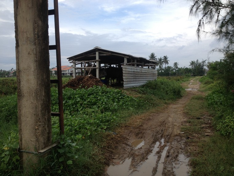 A cow barn beside the road (Tra Que Vegetable Village, Hoi An, Vietnam)