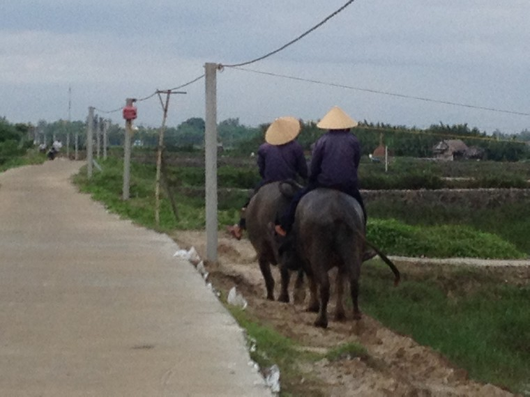 Farmers ride buffaloes to the field (Tra Que Vegetable Village, Hoi An, Vietnam)