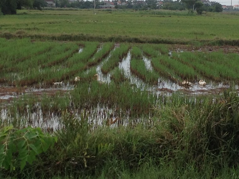 Ducks on the rice field (Tra Que Vegetable Village, Hoi An, Vietnam)