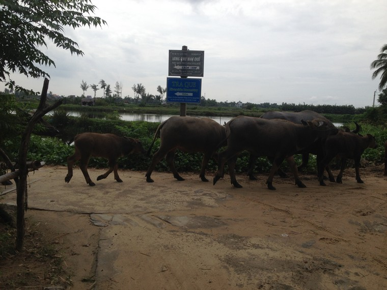 Herd of buffaloes on the road (Tra Que Vegetable Village, Hoi An, Vietnam)