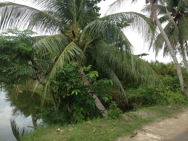 Coconut tree beside De Vong river (An Bang, Hoi An, Vietnam)
